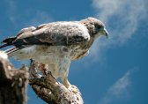 'Io, the Endemic Hawaiian Hawk