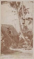 Lalani Village-Coconut Tree Climbing-ebay
