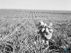 Lanai-Hawaii-Dole-Food-Company-Historical-Pineapple-Fields