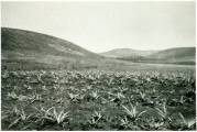 Lanai-Pineapple_Planted_By_Charles_Gay-1919