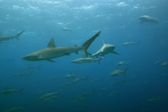 Large school of mano (Galapagos sharks) at Maro Reef-Watt