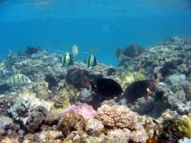 MaroReef-Fish-and-Coral-Dameron