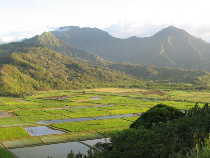 One of the largest taro growing areas in the Hawaiian Islands is the Lower Hanalei Valley-(WC)