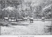Pond Cows in kiawe pasture-Diamond Head-Adv-June 4, 1905