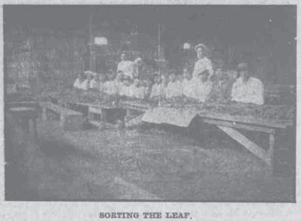Sorting the Leaf-HawaiianGazette-07-25-1911