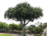 Tamarind Tree-Oldest Living Thing at Punahou-Punahou