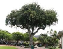 Tamarind Tree-Oldest Living Thing at Punahou-Punahou