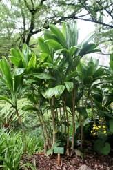 Ti_plant_(Cordyline_fruticosa)