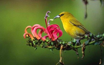 Waikamoi-'amakihi feeds from the tubular flowers of the koli'i-TNC