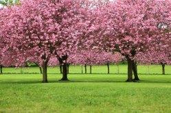 Waimea_Cherry_Blossom-(holualoainn-com)