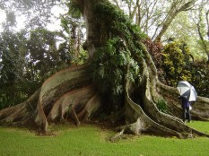 Walker_Estate-Ficus_Tree-(outdoorcircle)