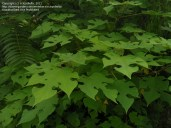 Wauke_leaves-davesgarden