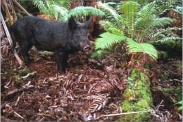 Wild_Pig-civilbeat
