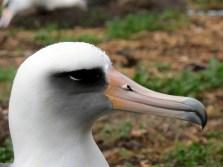 albatross_rain_midway-NOAA