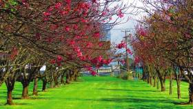 cherry-blossoms-(westhawaiitoday-com)