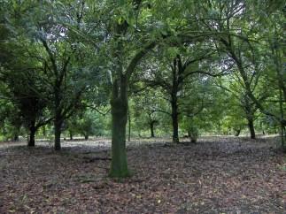 macadamia-trees