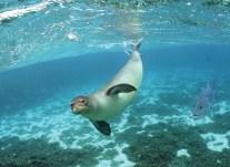 monkseal-ulua-NOAA
