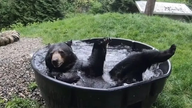 Takoda the Black Bear Enjoys Cool Bath at Oregon Zoo