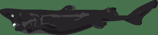Barry-Brunswick-Fun-Facts-About-Sharks-Lantern-Shark