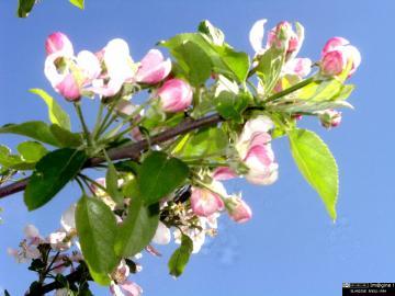 Pommier en fleur, printemps