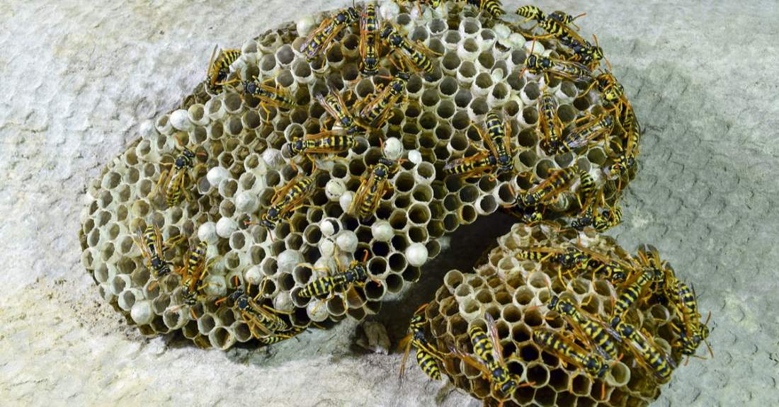wasps-on-a-nest