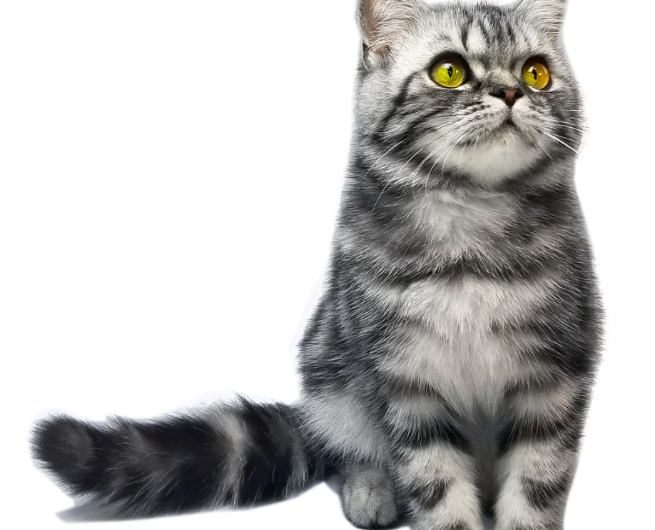 Imagine Cattery - British Shorthair and Longhair Cats