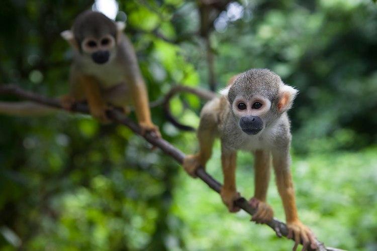 macaco-no-seu-galho