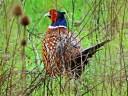 Male Pheasant 1024x768