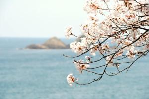 訓谷集落魚見台の桜