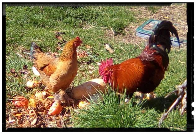 Pioupiou avec Kuzny le coq et Clémentine la poule