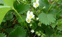 plants de fraisiers