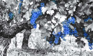 Burgundy-Harvest