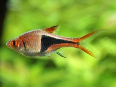 arlequin pez