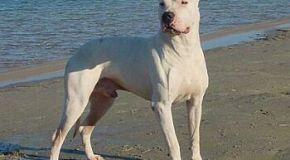 El Dogo Argentino, un atleta impontente