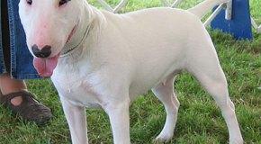 Las virtudes del Bull Terrier