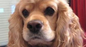 Cooker Spaniel Americano, un perro de familia
