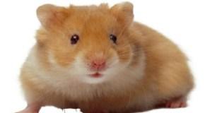El significado de tener un roedor en el hogar