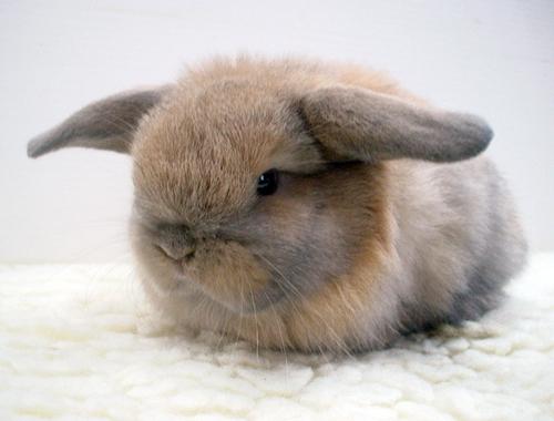 conejos-enanos