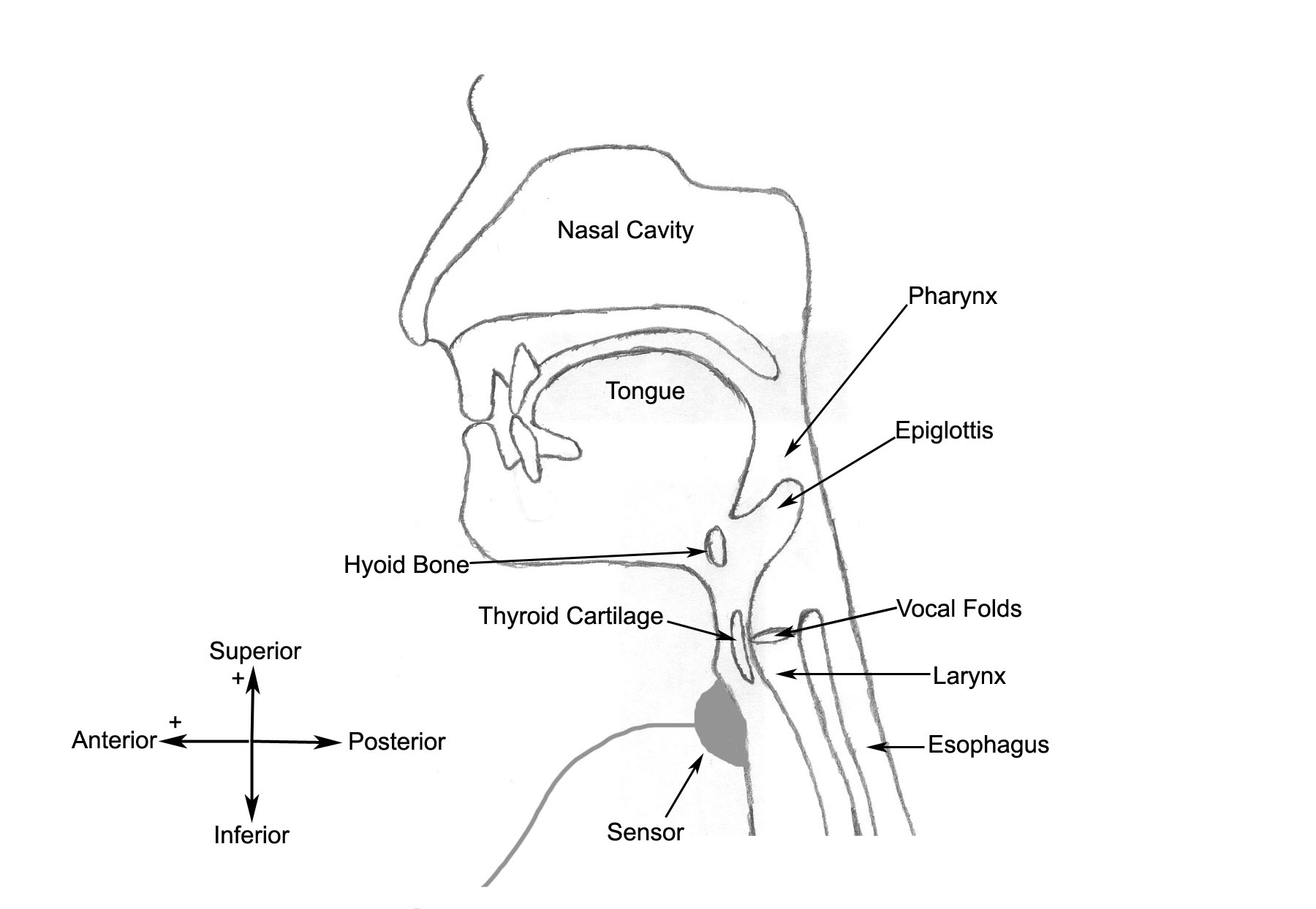 Normal Swallow Diagram