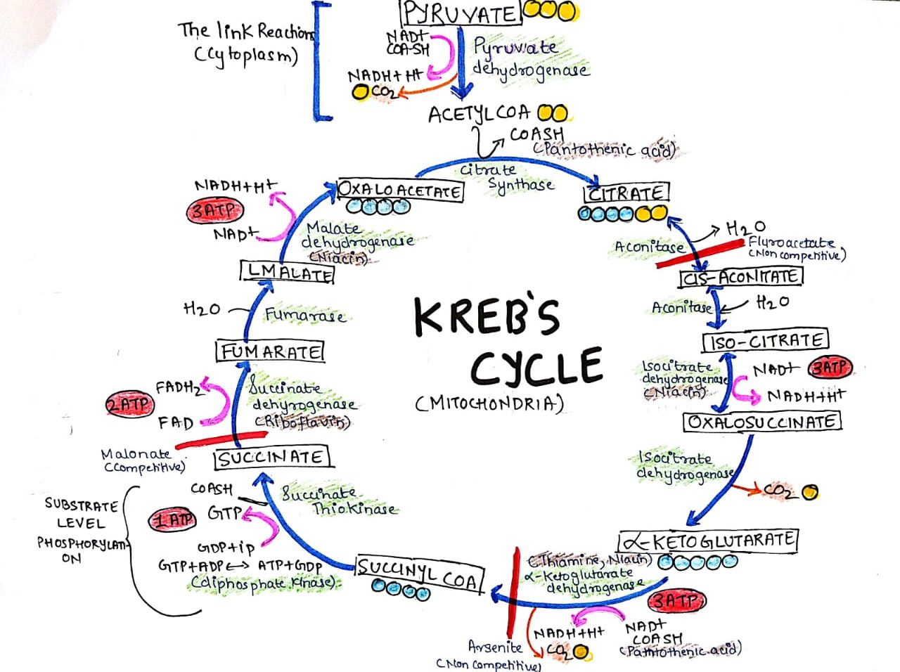 Tricarboxylic acid cycle (Kreb's Cycle)