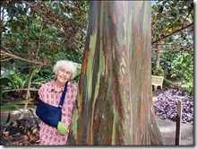 Rainbow Eucalytpus tree honolulu-hawaii-imelda-dickinson (1)