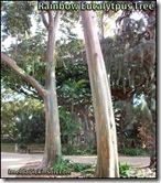 Rainbow Eucalytpus tree honolulu-hawaii-imelda-dickinson (2)