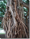 banyan tree-honolulu-hawaii (1)