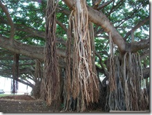 banyan tree-honolulu-hawaii (2)