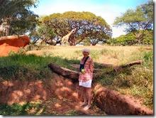 giraffe and zebra honolulu zoo imelda m dickinson