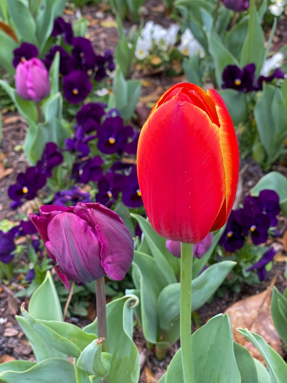 A Spring Weekend in Wilmington, NC: the Best Things to Do - I'm Fixin' To - @imfixintoblog |Weekend in Wilmington by popular NC travel blog, I'm Fixin' To: image of a purple and red tulip and purple pansies.