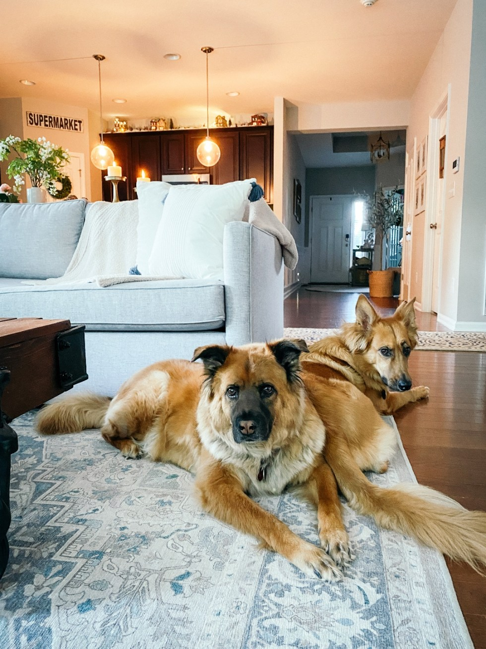 Room Reveal: Blue and Gray Living Room Ideas - I'm Fixin' To - @imfixintoblog | Blue and Grey Living Room Ideas by popular NC life and style blog, I'm Fixin' To: image of two large dogs sitting on a blue and white area rug next to a grey sectional couch.