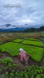 Rice uprooting for planting in Nepal