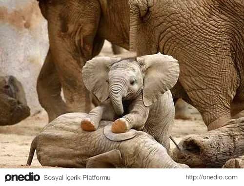 Memeli hortumlu sınıfından sadece fillerin soyu tükenmemiş ve günümüze kadar gelebilmişlerdir.