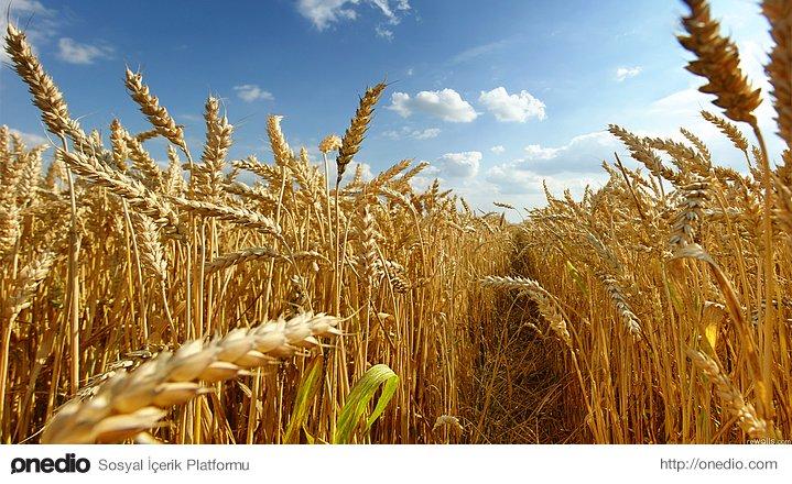 6. Buğdayın atası Göbeklitepe'de